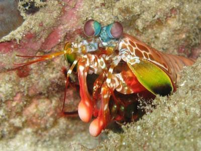 image by Silke Baron - mantis shrimp