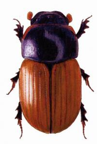 Drawing of beetle by Kari Heliövaara