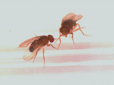 A picture of fruitflies by U-M Health System