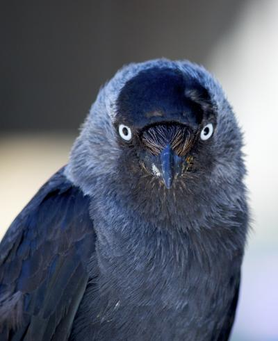 Photo of a jackdaw by Richard Woods