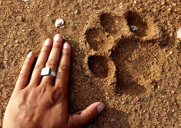 A picture of a cat footprint in Africa by Jyoti
