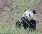 A picture of a panda by Sue Nichols, Michigan State University Center for Systems Integration and Sustainability