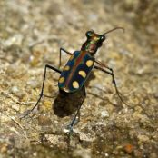 tiger beetle by freedigitalphotos.net and sippakorn