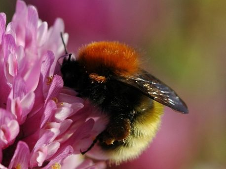 bumblebee by Dave Goulson