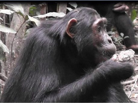 Chimpanzee eats clay by Anne Schel