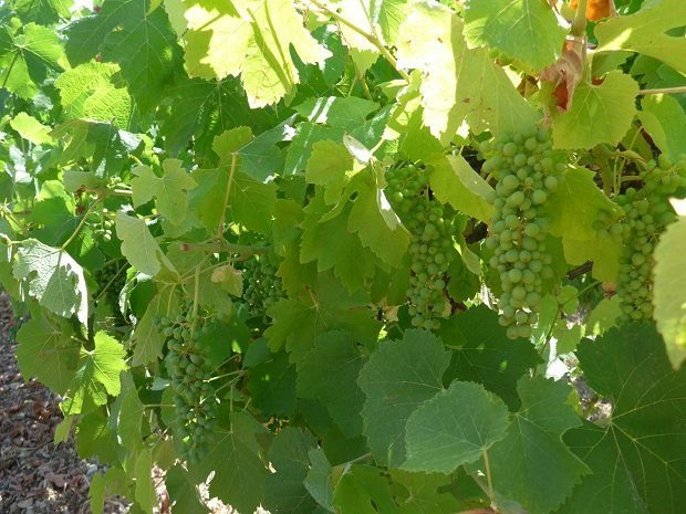 Wine grapes, global warming