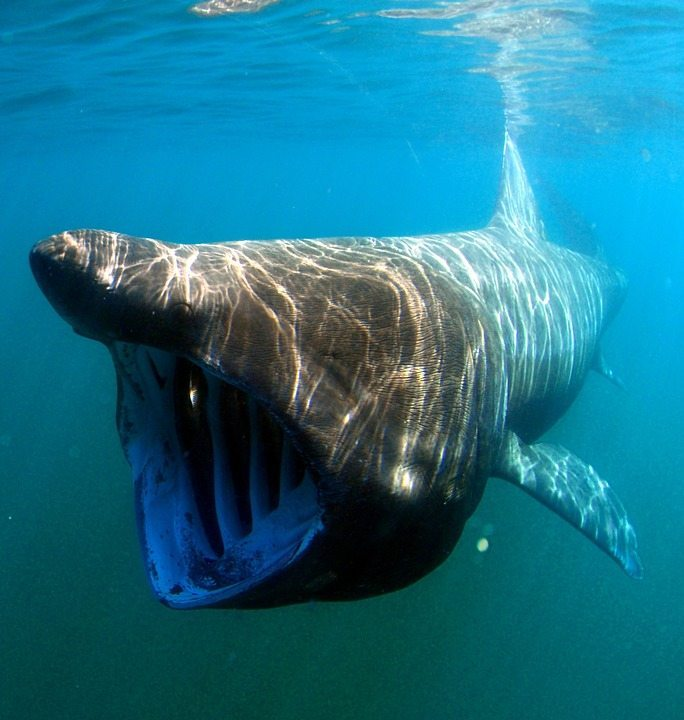 basking sharks by pixabay and tpsdave