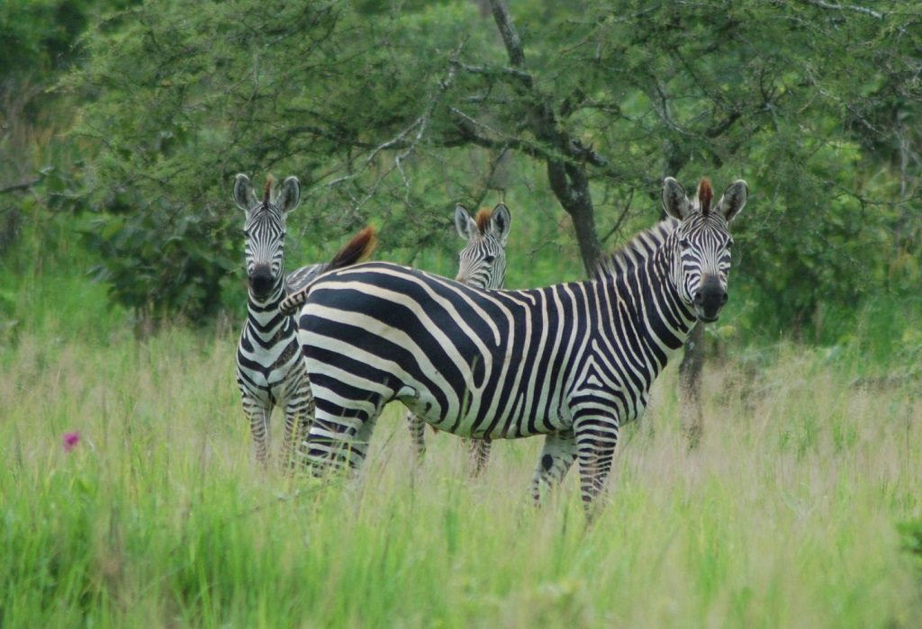 the biology of colour, zebras