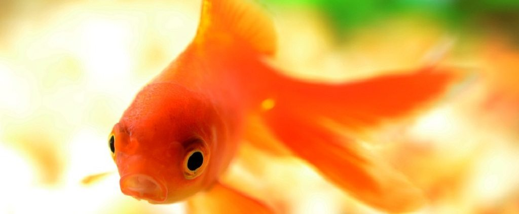 how goldfish make alcohol